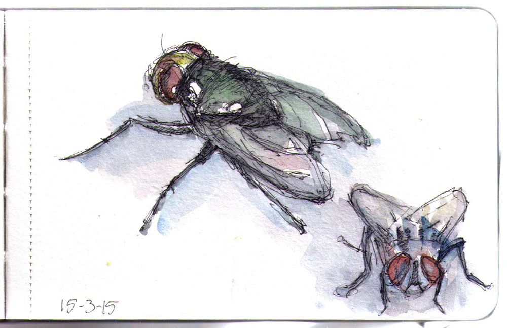 Drawing of a fly in pen and watercolors