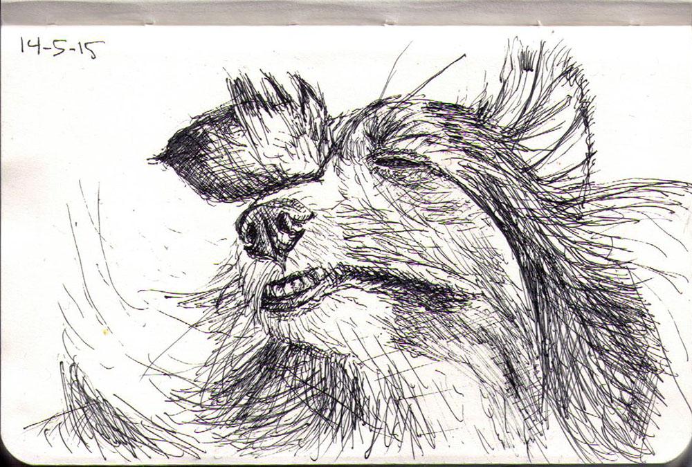 Sketch of a Sheltie dog called Eva