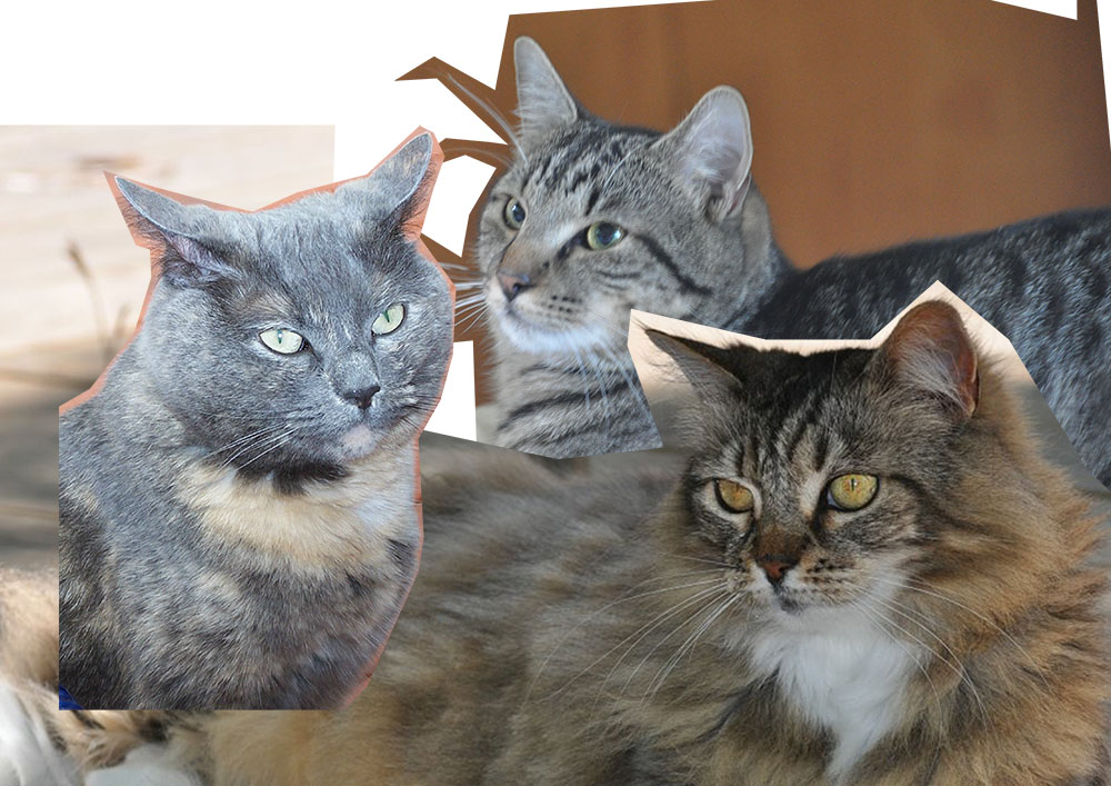 Photo collage of three cats